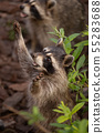 two cute raccoons 55283688