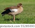 Nile Goose, Alopochen aegyptiaca 55285093