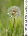 Common dandelion, Taraxacum 55285095