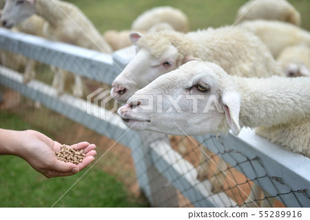 Feeding sheep by a young women hand. 55289916