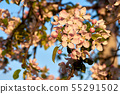 Close-up view of pink apple tree flowers. Blue sky 55291502
