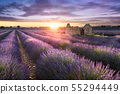 LAVENDER IN SOUTH OF FRANCE 55294449