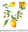 Lemon watercolor collection Hand drawn paint 55296724