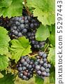 Grape harvest 55297443
