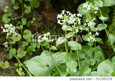 White flower of wasabi 55299158