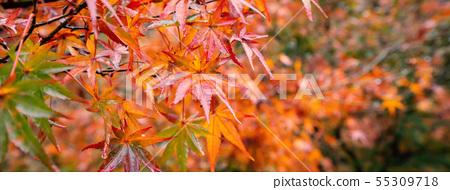 日本美麗楓葉旅行背景楓葉楓葉楓葉秋葉楓樹 55309718