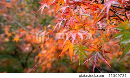 日本美麗楓葉旅行背景楓葉楓葉楓葉秋葉楓樹 55309721