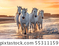 White horses in Camargue, France. 55311159