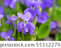 Violets flowers (Viola odorata). Spring flowers 55312270