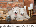 Two White fluffy Samoyed puppies dogs with book 55312353
