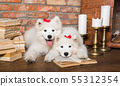 Two White fluffy Samoyed puppies dogs with book 55312354
