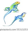 Exotic iguana wild animal. Watercolor background illustration set. Isolated reptilia illustration 55313253