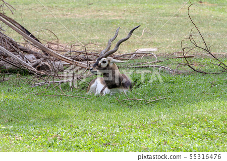 Close up blackbuck sit down in garden 55316476