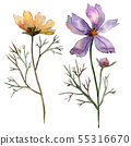 Cosmos flower floral botanical flowers. Watercolor background illustration set. Isolated flower 55316670