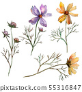 Cosmos flower floral botanical flowers. Watercolor background illustration set. Isolated flower 55316847