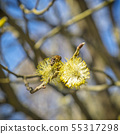 Honey bee collects nectar on the flowering tree 55317298