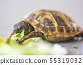 Hermann's tortoise - Testudo hermanni 55319032