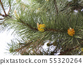 Pine branches with yellow pollen, pine blossom. 55320264