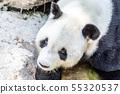 Giant Panda with sad eyes lying on the ground 55320537