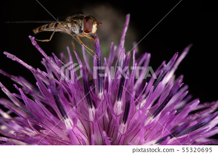 Hoverfly 55320695