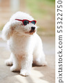 White poodle dog in sunglasses 55322750