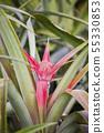 파인애플의 꽃 (꽃 봉오리) 55330853