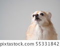 close up of white brown fur chihuahua. 55331842