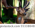 Roe Deer, Capreolus capreolus lives mostly in Germany and France 55338648