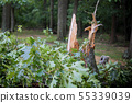 Storm damage trees in the forest after a storm. 55339039
