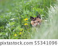 Mikage cat looking out of the grass looking at camera 55341096