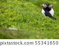 Atlantic Puffins (Fratercula arctica) on Mykines, 55341650