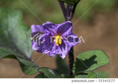 Aubergine purple flower yellow pistil 55343577