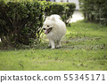 white Pomeranian breed smile and happiness 55345171