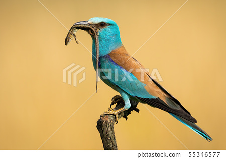 Side view of european roller sitting on a perch holding lizard in the beak 55346577
