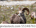 Bighorn Sheep in the Rocky Mountains 55346763