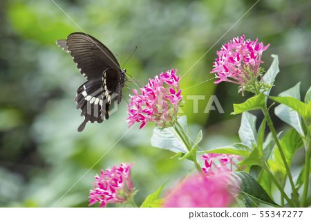 Fenghuang butterfly, traditional star flower, Cokexisha Park, Taiwan, Taichung, Daegu, female butterfly, leaf 55347277