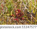 Carnivorous Plant Sundew at Liard River Hot Spring 55347577