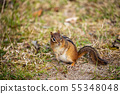 Chipmunks of the Pukaskwa Forest in Canada 55348048