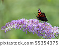 European Peacock Butterfly (Inachis io) feeding on 55354375