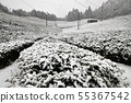 Tea field snow scene 55367542