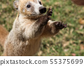 Portrait of cute white nosed coati, Nasua narica, begging for food, fighting and looking at a camera 55375699