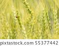 小麥和瓢蟲的耳朵 55377442