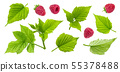 Raspberry plant leaves, cut stems and berries isolated on white background 55378488