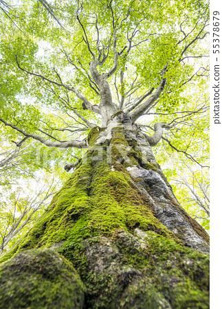 Appi Kogen Beech Secondary Forest Beech Primary Forest Iwate Tourist Spots Green Shower 55378679