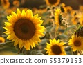 Sunflower - Helianthus annuus in the field at dusk 55379153