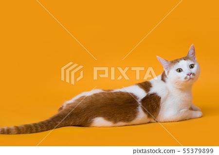 엎드려서 정면을 바라보는 고양이 55379899