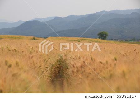경주,황금보리밭,분황사 55381117