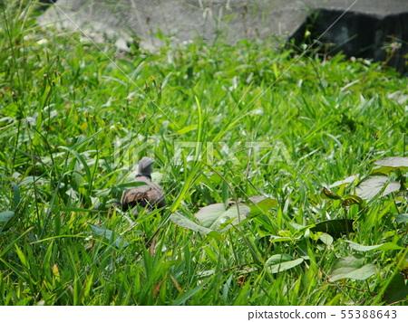 綠色草地上散步的快樂斑鳩背影 55388643