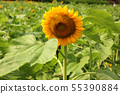 "A flowering sunflower at ""Himawari Garden Musashimurayama"" (2) 55390884"
