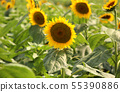 Sunflower (1) of Musashimurayama city that became full bloom 55390886